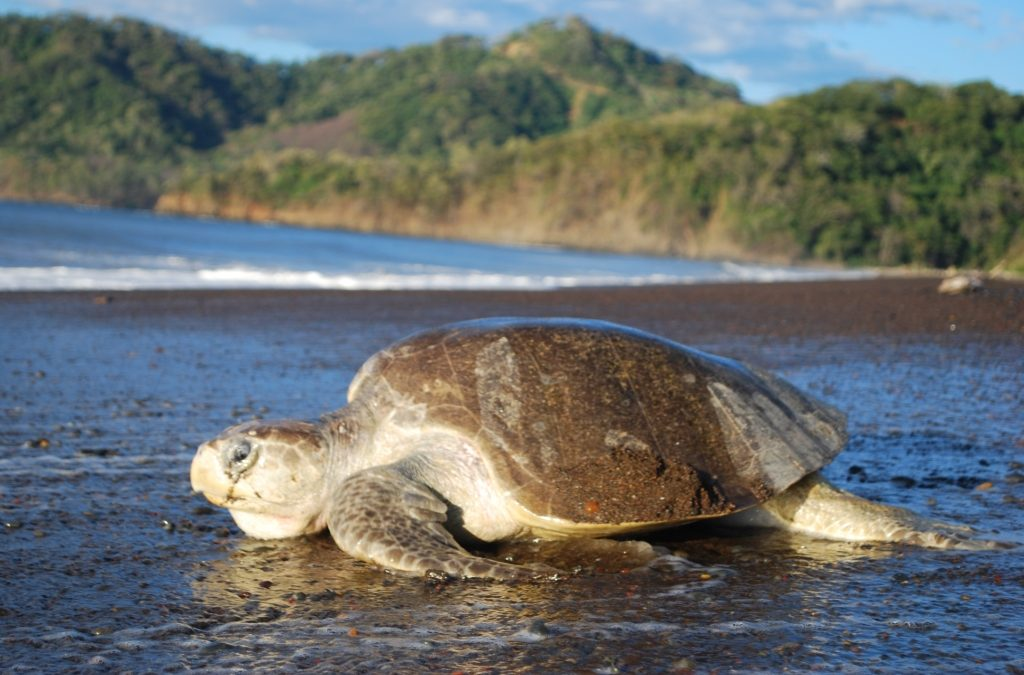 Early morning Olive Ridley nester at San Miguel