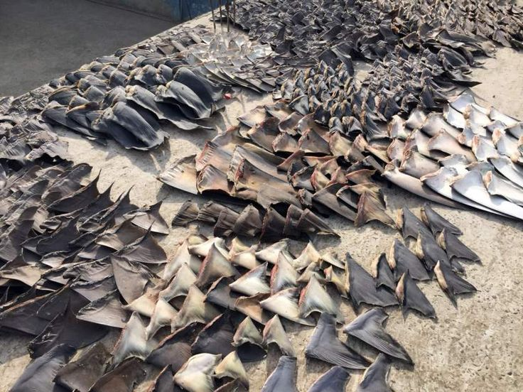 8 tons of hammerhead shark fins stockpiled in Puntarenas, Costa Rica