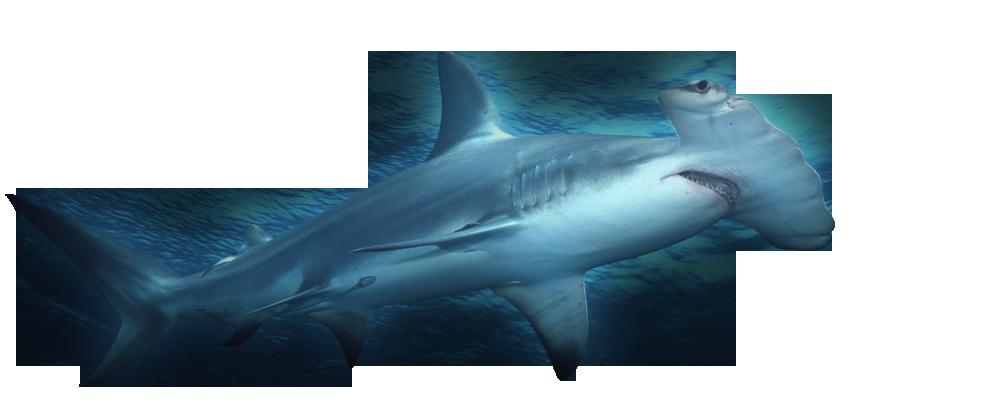 Shark facts 3