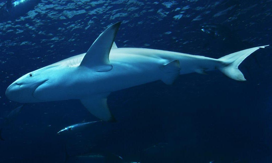 Shark facts 1