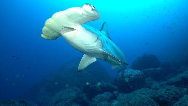 Five Hammerhead sharks tagged during expedition to Cocos Island with Dr. Sylvia Earle of Mission Blue